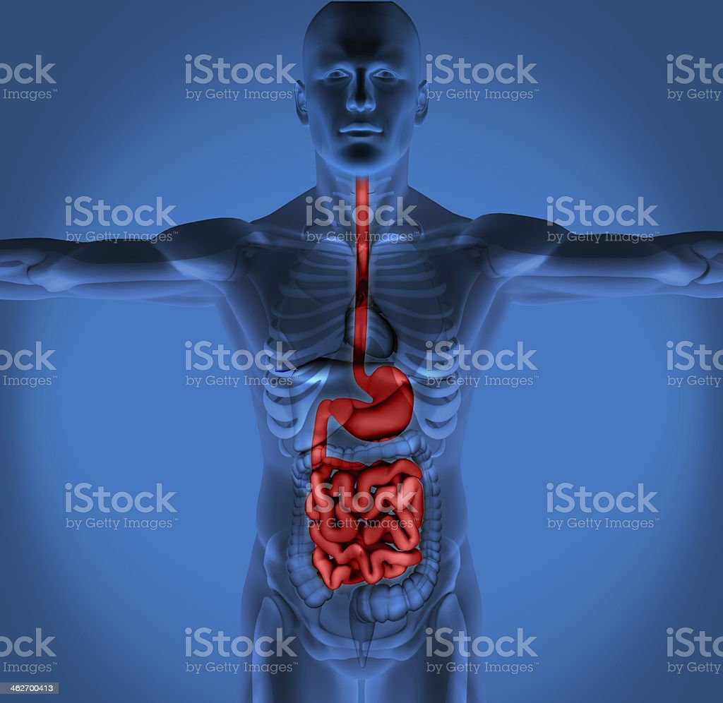 Highlighted digestive system stock photo