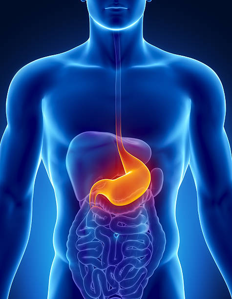Highlighted stomach in the male digestive system stock photo