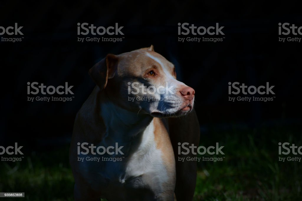 Highlights on pit bull stock photo