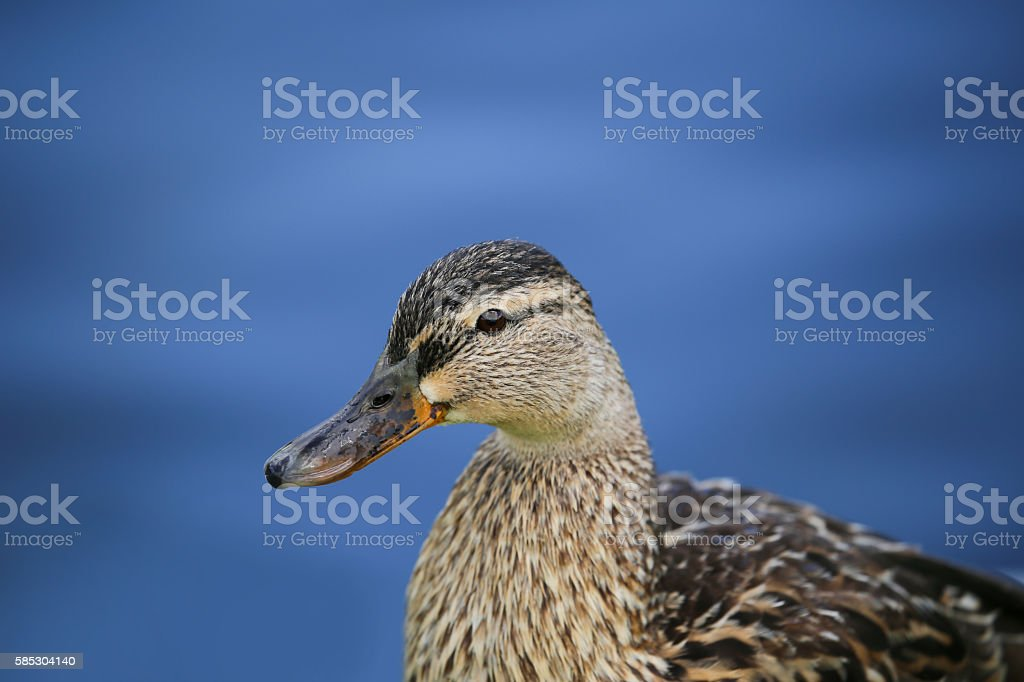 Highly detailed portrait of a Female mallard duck stock photo