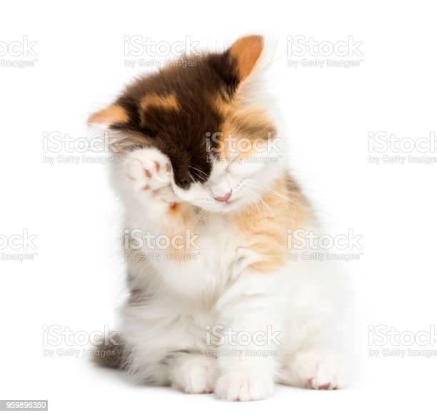 Higland straight kitten sitting having a wash isolated on white picture id959896350?b=1&k=6&m=959896350&s=612x612&h=n yiaxqlnhyrqe77xlqwv3mi1ph6irepuq5zlzm0zla=