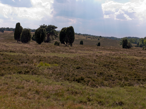 Hike in the Lüneburg Heath on the Heidschnuckenweg near Niederhaverbeck. Beautiful heathland with juniper bushes.