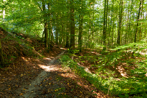 Small path for hikers through the Forêt des Soignes close to Brussels, with its rich beech population