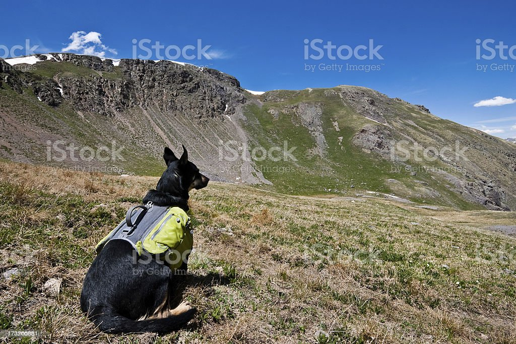 Hiker Dog Looking at the View A hiker dog looks out over the San Juan Mountains from 12,000' Columbine Lake Pass in the San Juan National Forest near Silverton, Colorado, USA. Animal Stock Photo