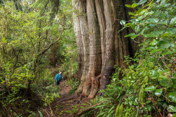 Hiker exploring rainforest on Meares Island near Tofino, British Columbia. stock photo