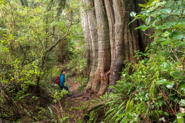 Hiker exploring rainforest on Meares Island near Tofino, British Columbia.