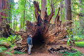 Stock photograph of a hiker looking at a fallen large redwood tree at Stout Grove in Redwood National Park California USA.