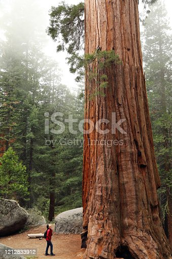 A Hiker Look up at a Giant Sequoia Tree Grant Grove, Kings Canyon National Park, California