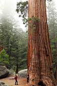 A Hiker Look up at a Giant Sequoia Tree\nGrant Grove, Kings Canyon National Park, California