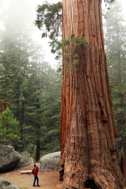 A Hiker Look up at a Giant Sequoia Tree