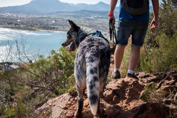 Hiker with an Australian Cattle Dog (blue heeler) stock photo