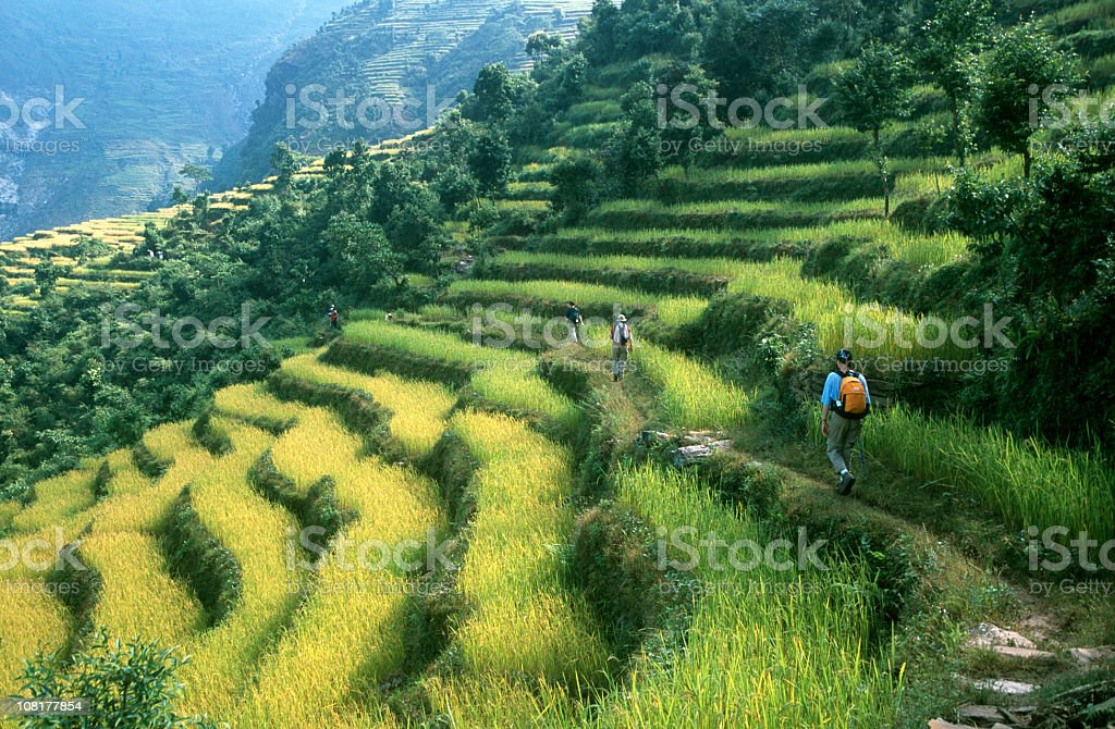Hikers trekking along rows of rice paddy stock photo