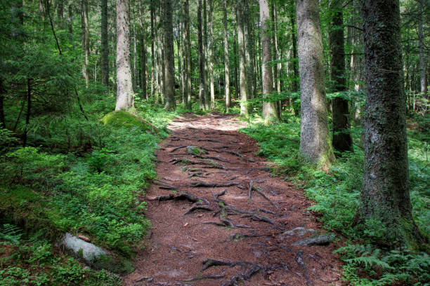Hiking along a path in the Black Forest, Germany stock photo