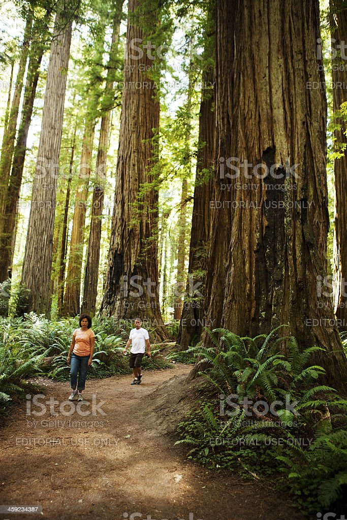 Hiking amongst the redwood trees royalty-free stock photo