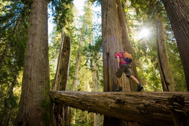 hiking ancient cedars - british columbia stock pictures, royalty-free photos & images