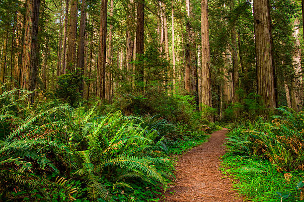 Hiking Path in Redwood Forest Giant trees and a hiking Path in Redwood Forest redwood tree stock pictures, royalty-free photos & images