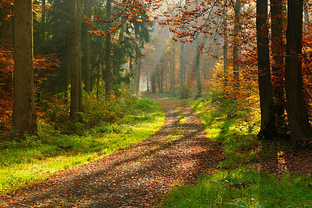 Hiking Path through Mixed Tree Forest with Sunrays in Autumn stock photo
