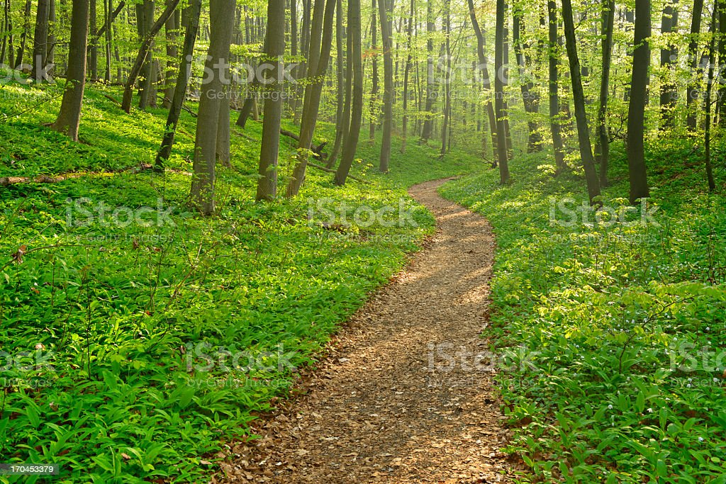 Hiking Path trough Sunny Beech Tree Forest royalty-free stock photo