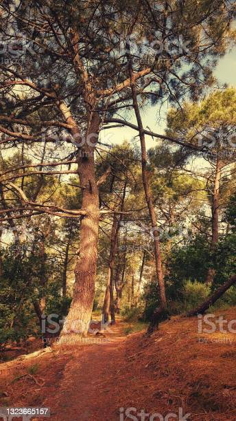 Photo of Hiking path under a pine forest