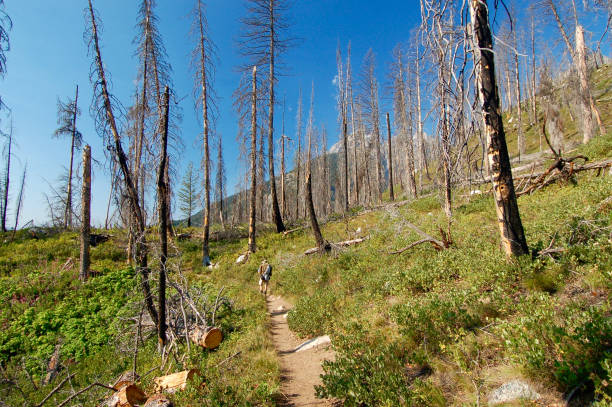 Hiking Through Forest Fire Regrowth stock photo