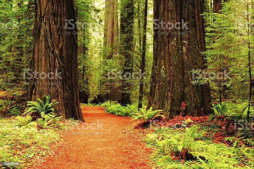 Hiking Trail in Muir Woods stock photo