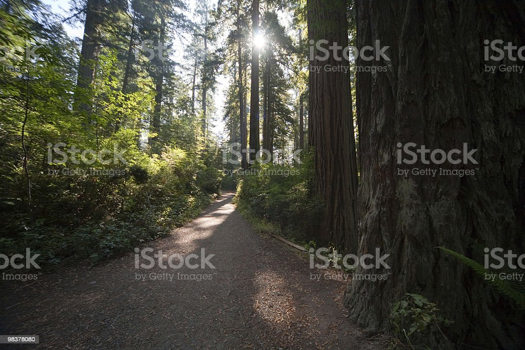 Hiking trail Redwoods NP royalty-free stock photo