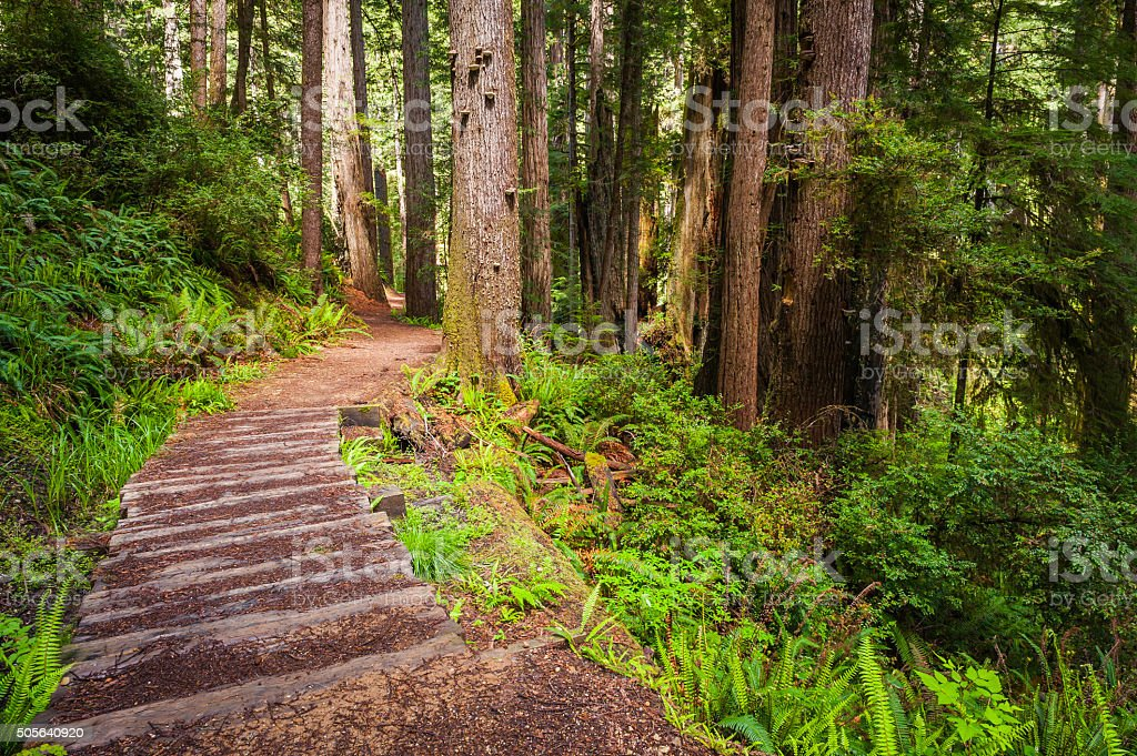 Hiking trail through Sequioa grove idyllic cloud forest Redwoods California stock photo