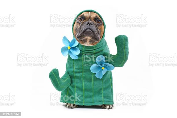 Hilarious french bulldog dog in funny cactus costume with arms like picture id1224097976?b=1&k=6&m=1224097976&s=612x612&h= yvoe14f0qakzcnmevp9pc6ua2805dz8w8ewkecbrye=