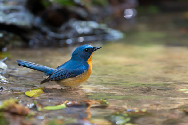 Hill blue flycatcher standing in a puddle picture id1045152502?b=1&k=6&m=1045152502&s=612x612&w=0&h=y6fq2skdwilt b3v2gcvij9locte6suax szblibdp8=
