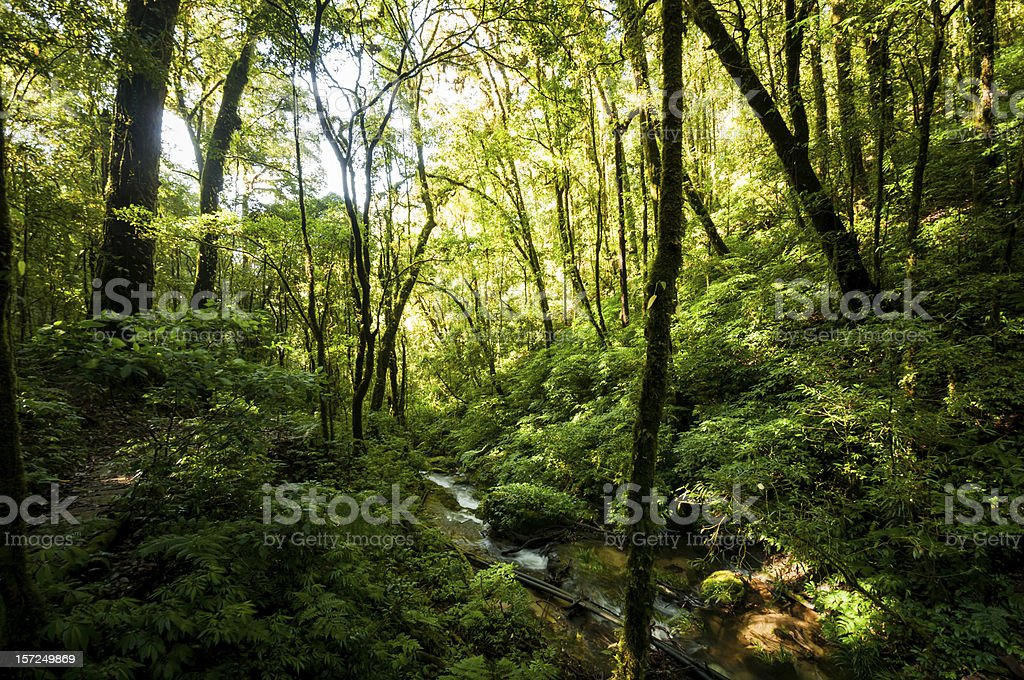 Hill Evergreen Forest royalty-free stock photo