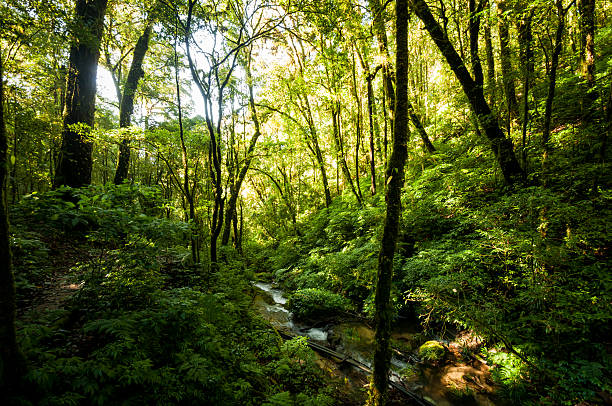 Hill Evergreen Forest stock photo