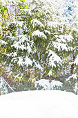 Hill of fresh powder snow in front snow covered fir trees. Fresh frosty winter feeling background.