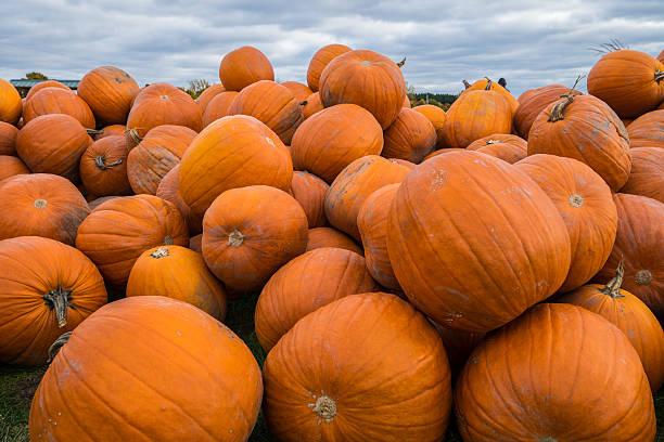 Hill of Pumpkins stock photo