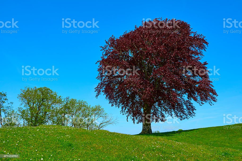 Red beech on a hill top surrounded by green grass. Sky is blue and no...