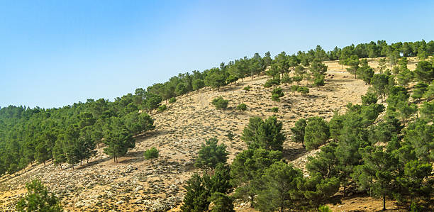 hill with conifer trees, israel - pinaceae stock photos and pictures