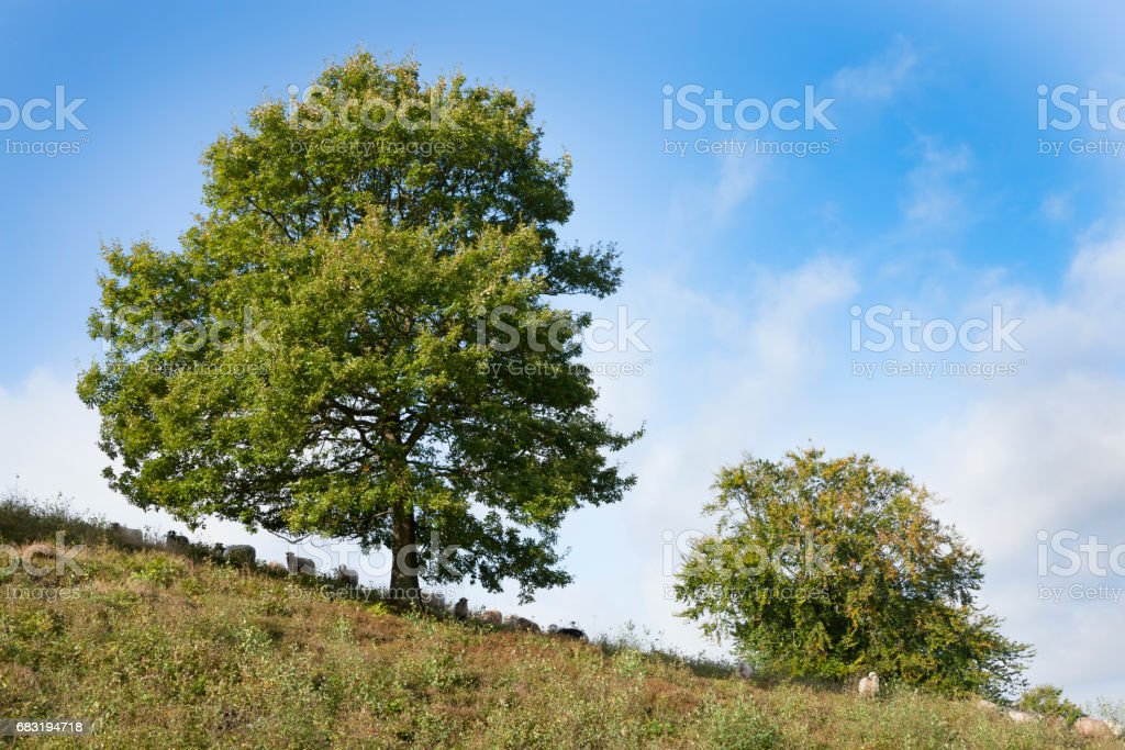 hill with large trees and sheep grassing royalty-free 스톡 사진