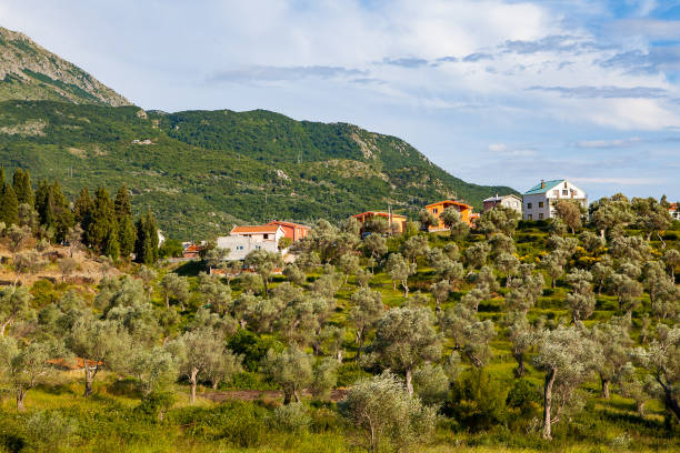 Hill with old olives and farmer's houses stock photo