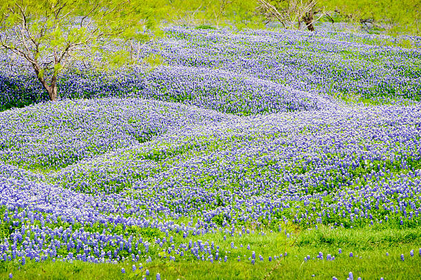 Hills of Bluebonnets stock photo