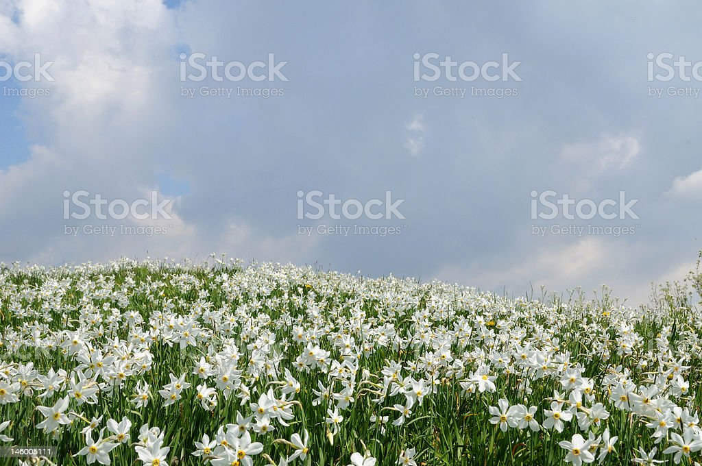 Hills of daffodils stock photo