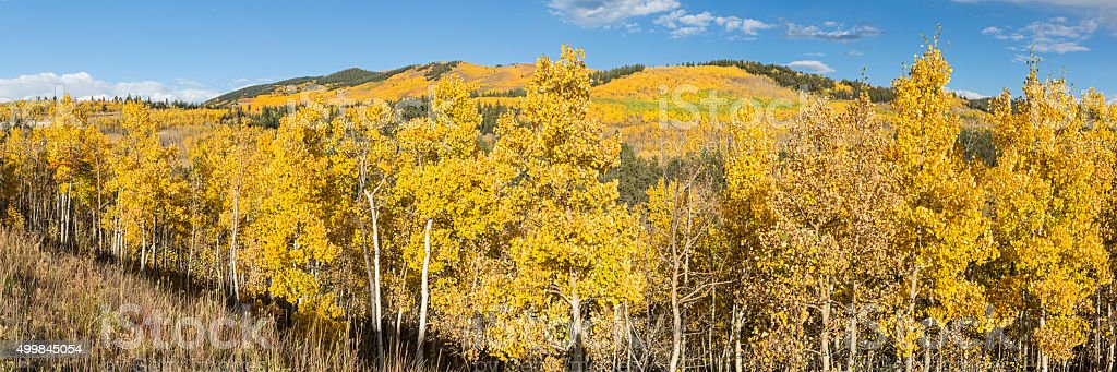 Hillside Aspen Panorama stock photo