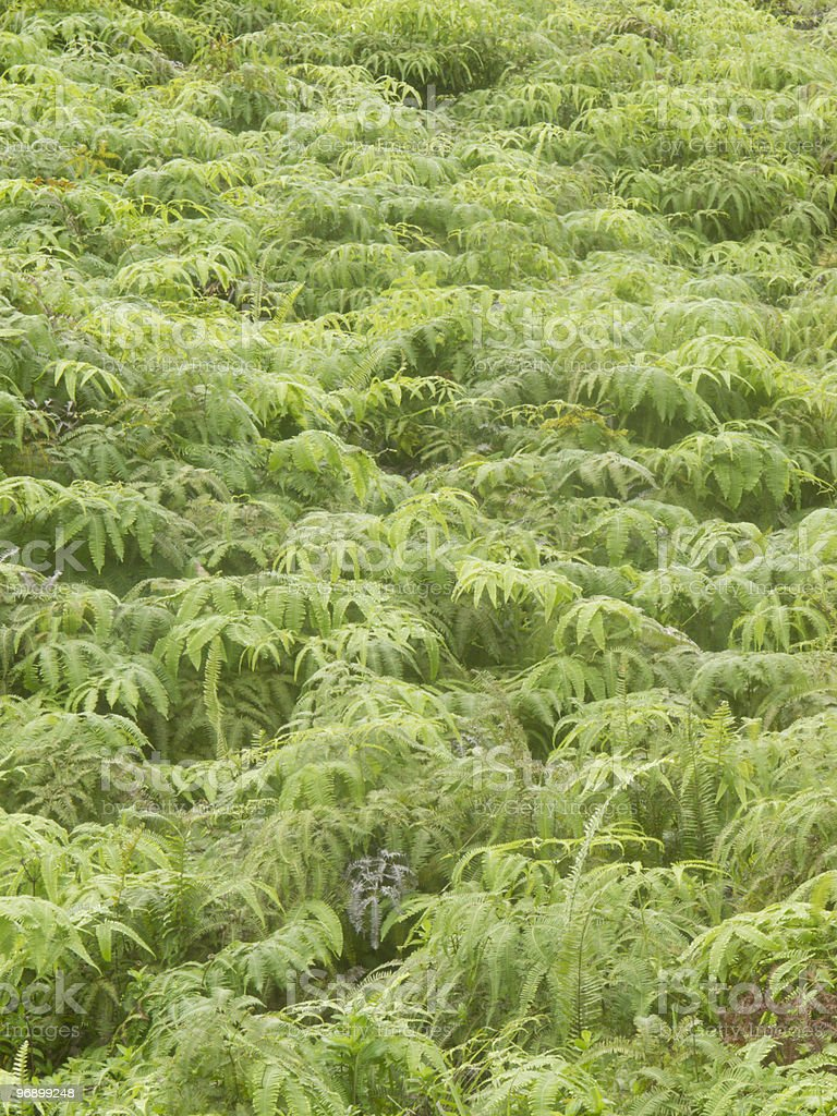 Hillside of tropical ferns royalty-free stock photo