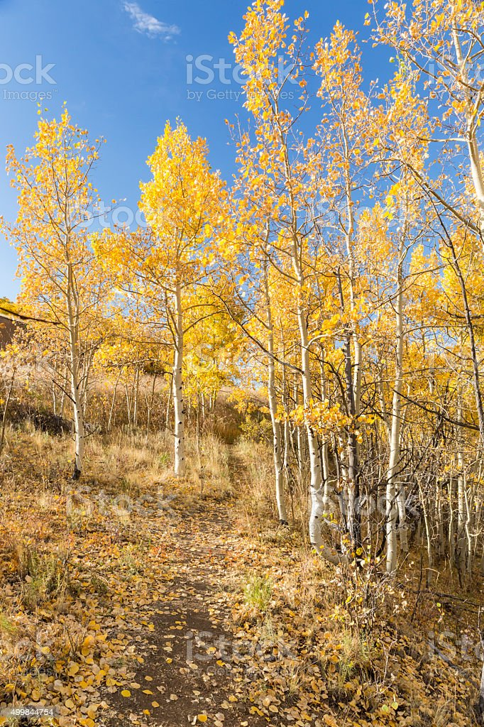 Hillside Trail Golden Aspens stock photo