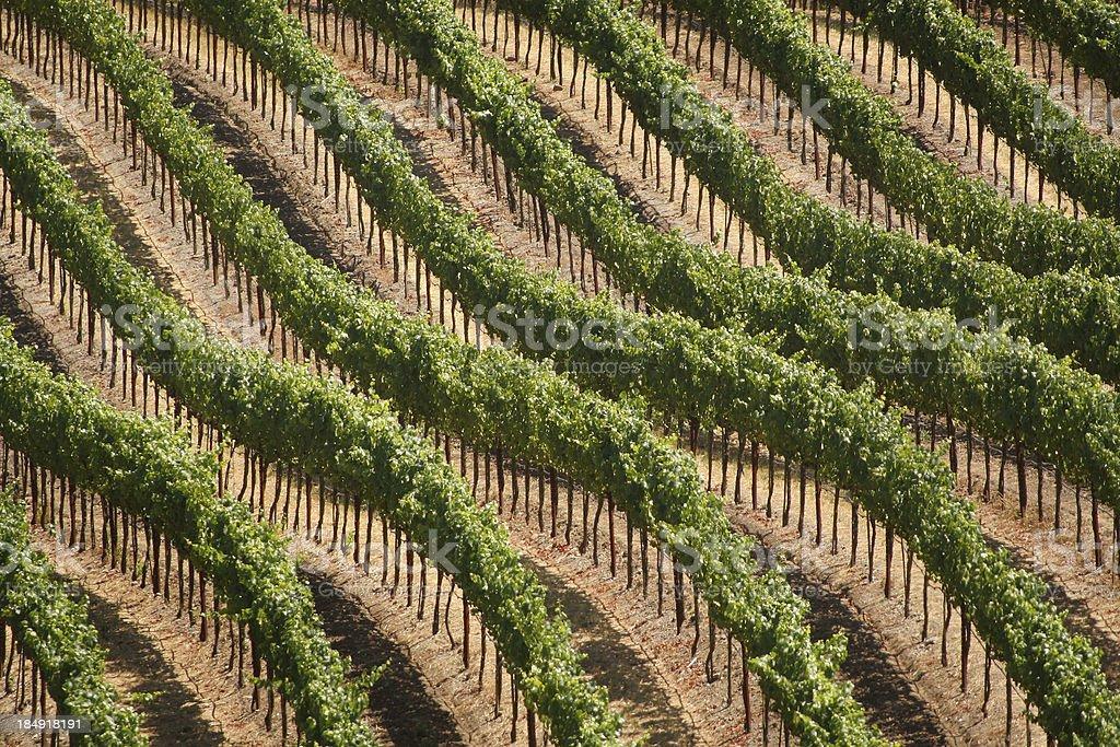 Hillside Vineyard royalty-free stock photo