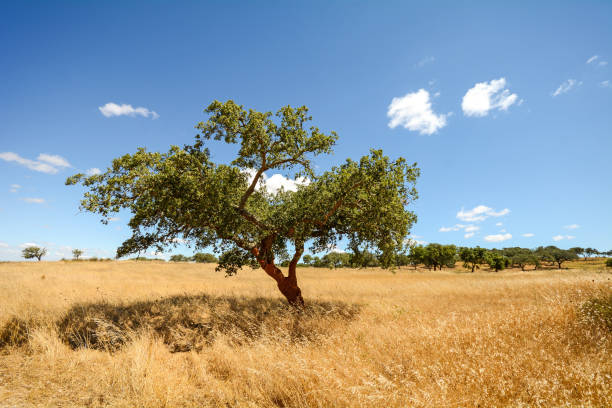 hilly alentejo landscape with cork oak trees and yellow fields in late summer near beja, portugal europe - fotos de portalegre imagens e fotografias de stock
