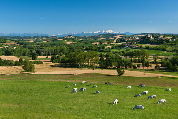 Hilly green landscape with cows grazing, Monferrato, Piedmont, Italy stock photo