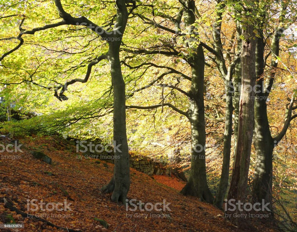 hilly sloping beech woodland in early autumn with leaves on the forest floor and glowing sunlight though the trees stock photo