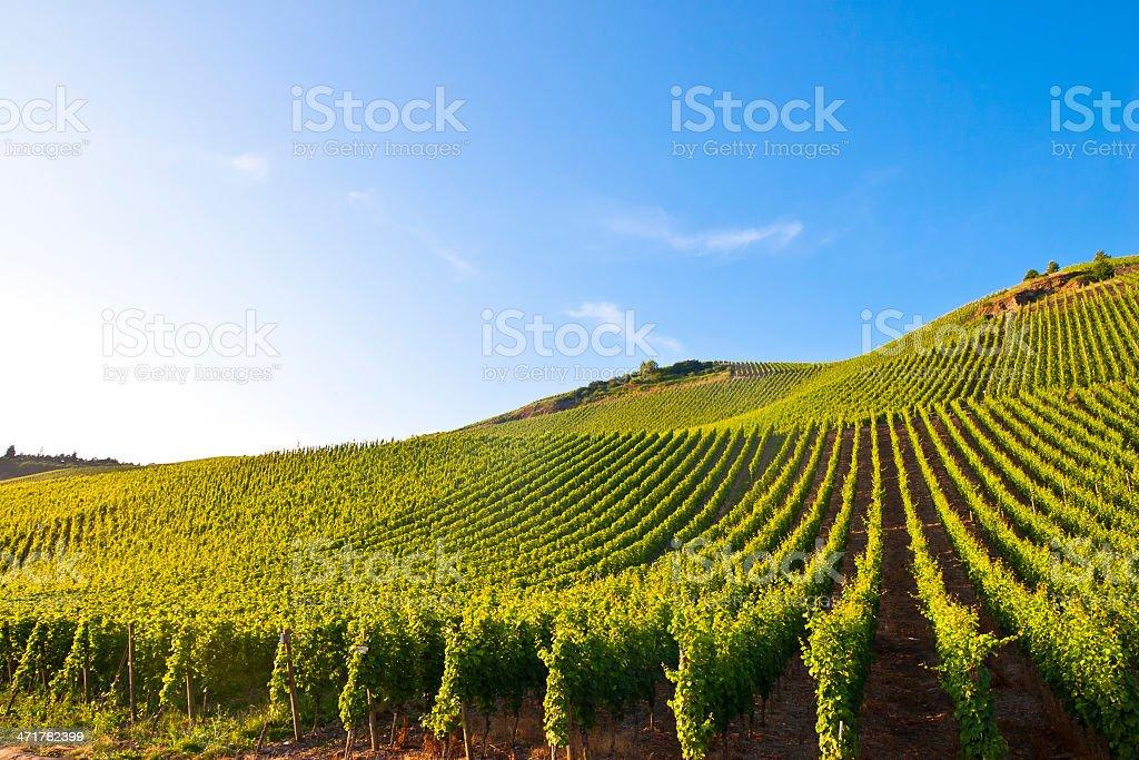 Hilly Vineyard royalty-free stock photo