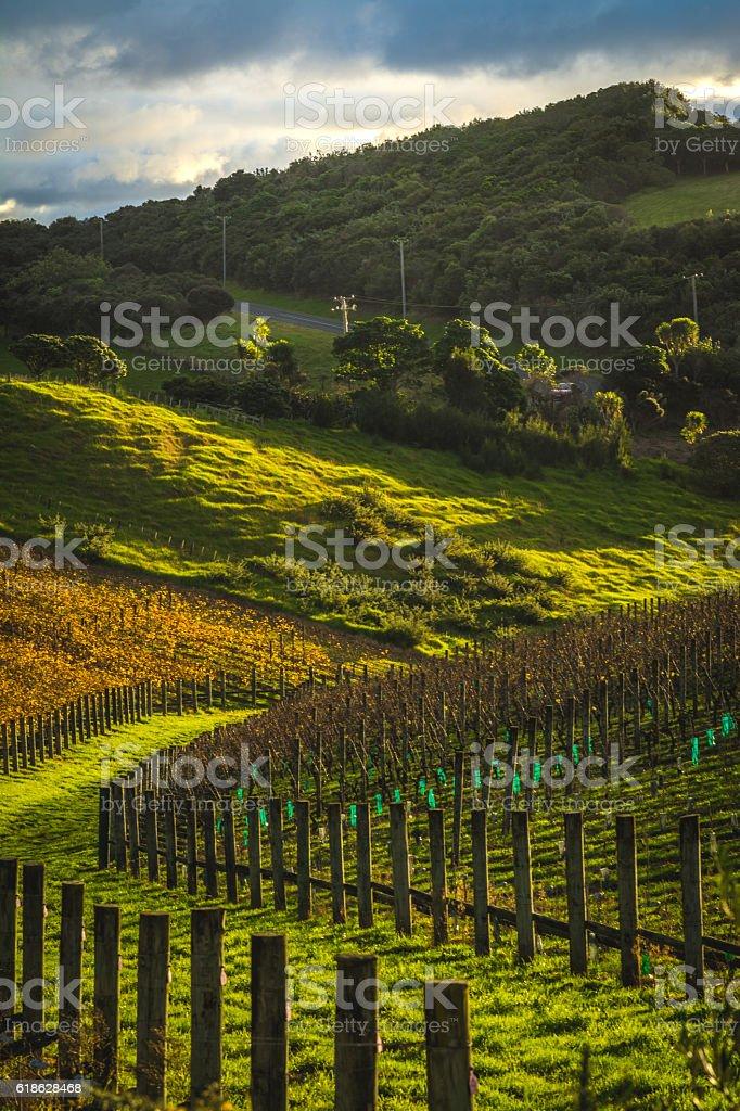 Hilly Vineyard stock photo
