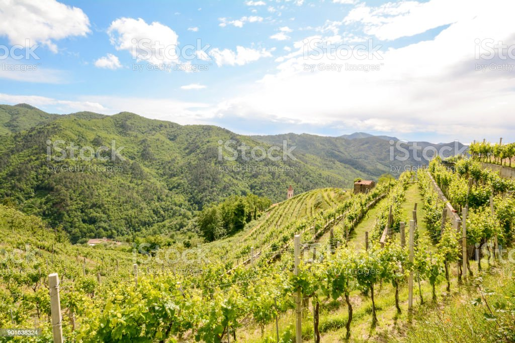 Hilly vineyards with red wine grapes in early summer in Italy, Europe – zdjęcie