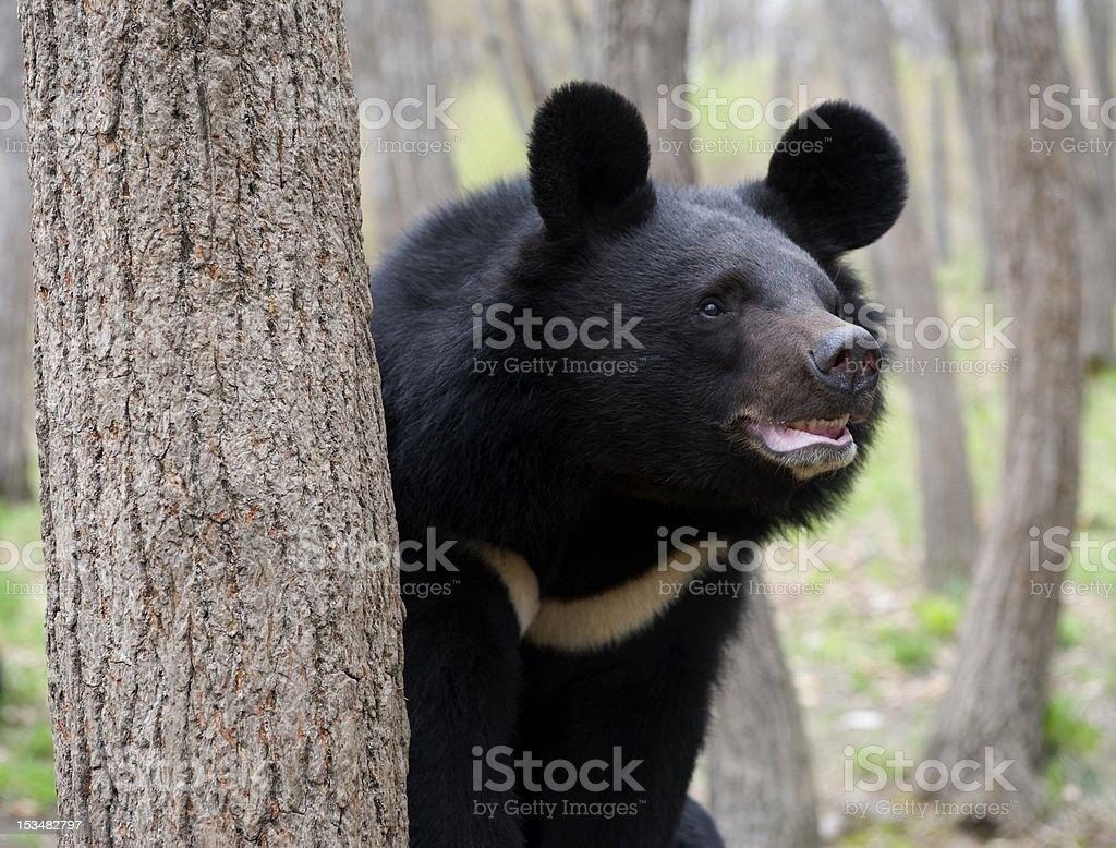 Himalaya bear stock photo